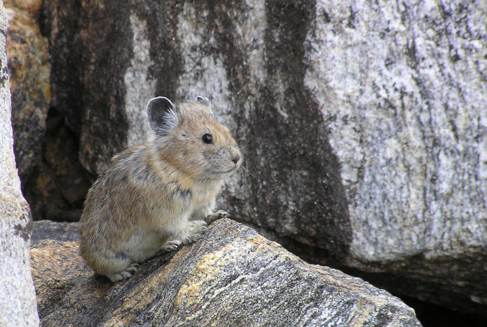 Similar in size to a hamster, the pika has big, round ears and thick fur, making it a favorite of hikers. Wildlife advocates have asked for federal endangered status for the animal.
