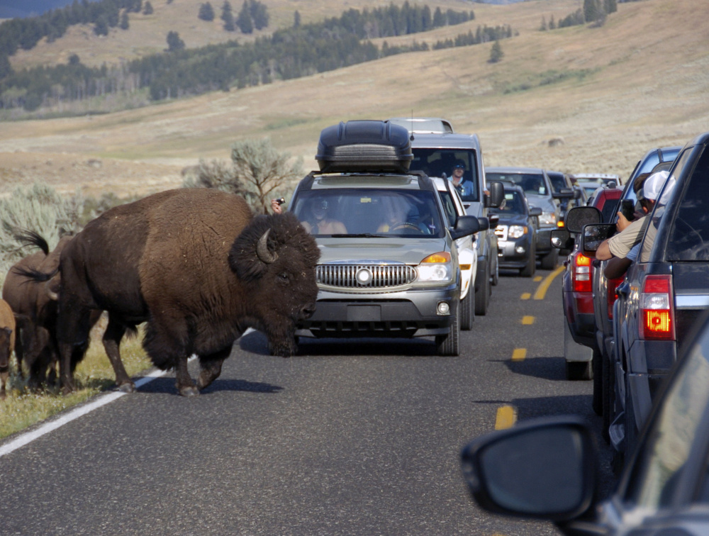Bison block traffic in Yellowstone National Park as tourists take photos of the animal. Officials say picture-taking is a key problem in parks.