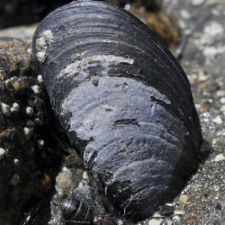 A blue mussel clings to a rock at Mount Desert Island on the Maine coast. A new scientific study says the numbers of mussels have declined dramatically in the Gulf of Maine.