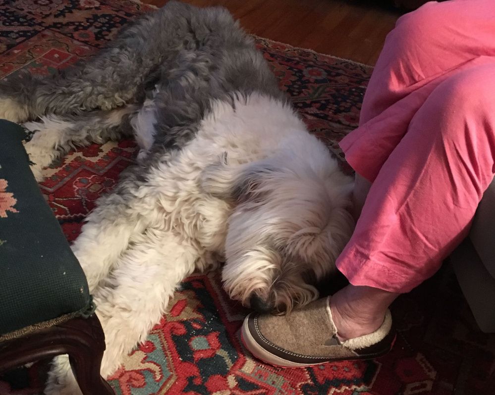 Jack helps J.P. Devine with his writing. The 13-year-old Old English sheepdog is one in a long line of Devine dogs.