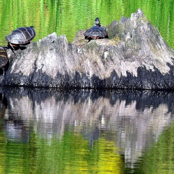 Painted turtles in August morning sun in Troy.