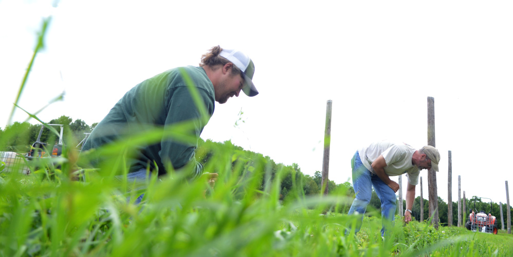 Nathan Lattin of New Portland, left, and Jeff Powers, of Skowhegan, pull weeds from a hop field Tuesday at Bigelow Brewing in Skowhegan. Bigelow Brewing is gearing up for the first craft beer festival in Skowhegan this weekend. The festival will feature 20 craft beer and cider companies.