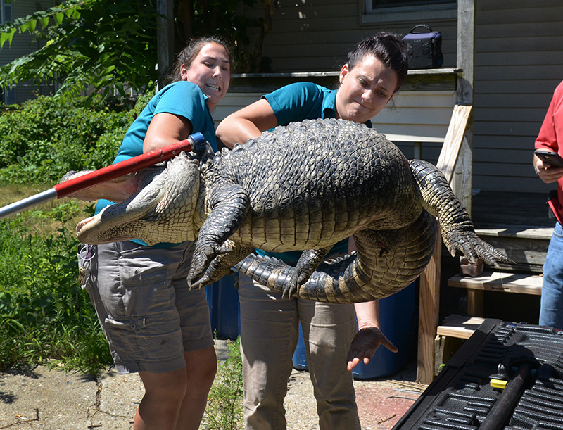 Staff from the Zoo at Forest Park in Springfield handle a 6-foot, 150-pound alligator found in the backyard in West Springfield, Mass.
