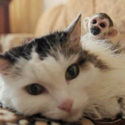 In this video frame grab taken Saturday Aug. 20, 2016 in Tyumen, Russia, a 16-year-old cat called Rosinka, carries a three-week-old baby monkey on her back. Russian cat has adopted a baby squirrel monkey after he was abandoned by his mother at a zoo, comforting the little primate by letting him cling to her back for warmth. (AP Photo)