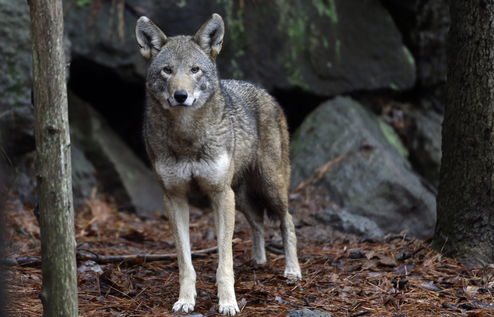 A female red wolf is shown in its habitat at the Museum of Life and Science in Durham, N.C. Conservationists are preparing for what could be their last shot at convincing a judge to intervene in a protracted battle to save the world's only wild population of red wolves.