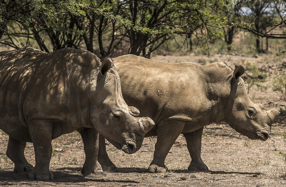 White rhinos with their horns removed as an anti-poaching measure graze on a ranch in South Africa. Experts say rhinos, illegally slaughtered for their horns, could become extinct in 15 years.