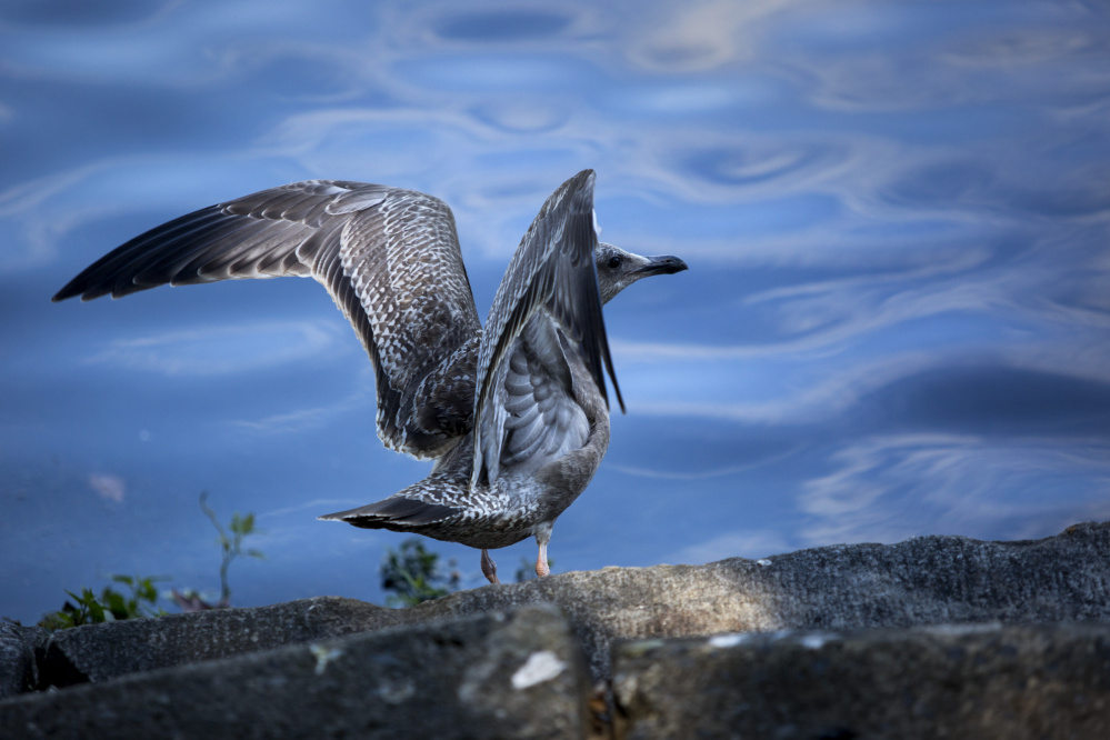 A large gull spreads its wings Thursday before taking flight at Deering Oaks. Three dozen juvenile herring gulls have been found dead in the park in recent weeks.