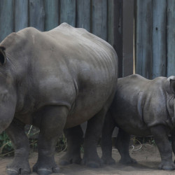 A de-horned rhino mother stands with her baby at a rhino orphanage in the Hluhluwe-iMfolozi Game Reserve in South Africa's KwaZulu Natal province. Rhinos have been slaughtered in increasing numbers to meet demand for their horns.