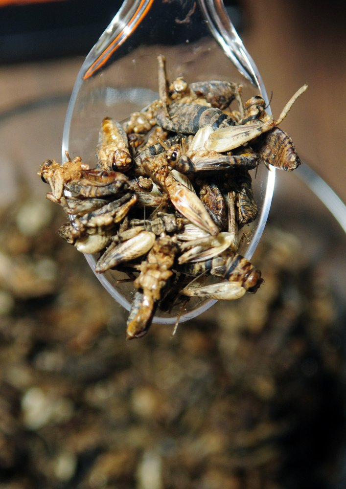 Entosense Inc. offered samples of roast crickets during Bug Maine-ia on Tuesday at the Maine State Museum in Augusta.