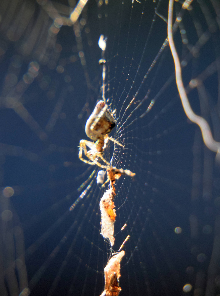 A trashline spider, Cyclosa conica, waits in her web under a deck railing in Troy in September.
