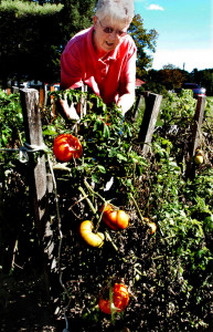 Joyce Fish inspects the large and ripening tomatoes in her garden in Sidney on Monday, shortly after uncovering them for the possible frost earlier in the day.