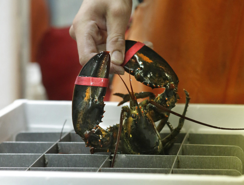 A live Maine lobster is packed for shipping at The Lobster Co. in Arundel. A proposed ban in Europe could cost the Maine fishery almost $11 million in annual revenue.