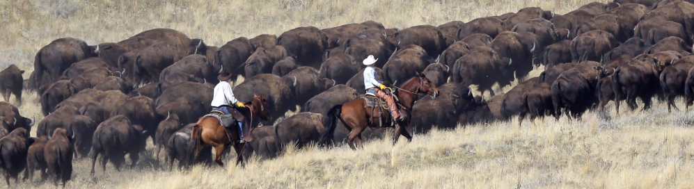 It's back in the saddle again for the cowboys rounding up the big, iconic beasts.