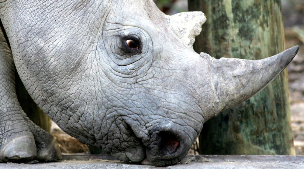 Even with large private expenditures, rhino poaching levels are at record levels in South Africa.