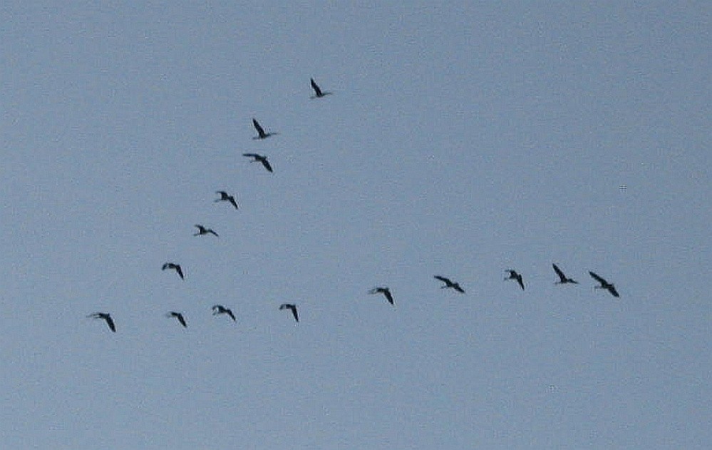 Canada geese over Unity in October.