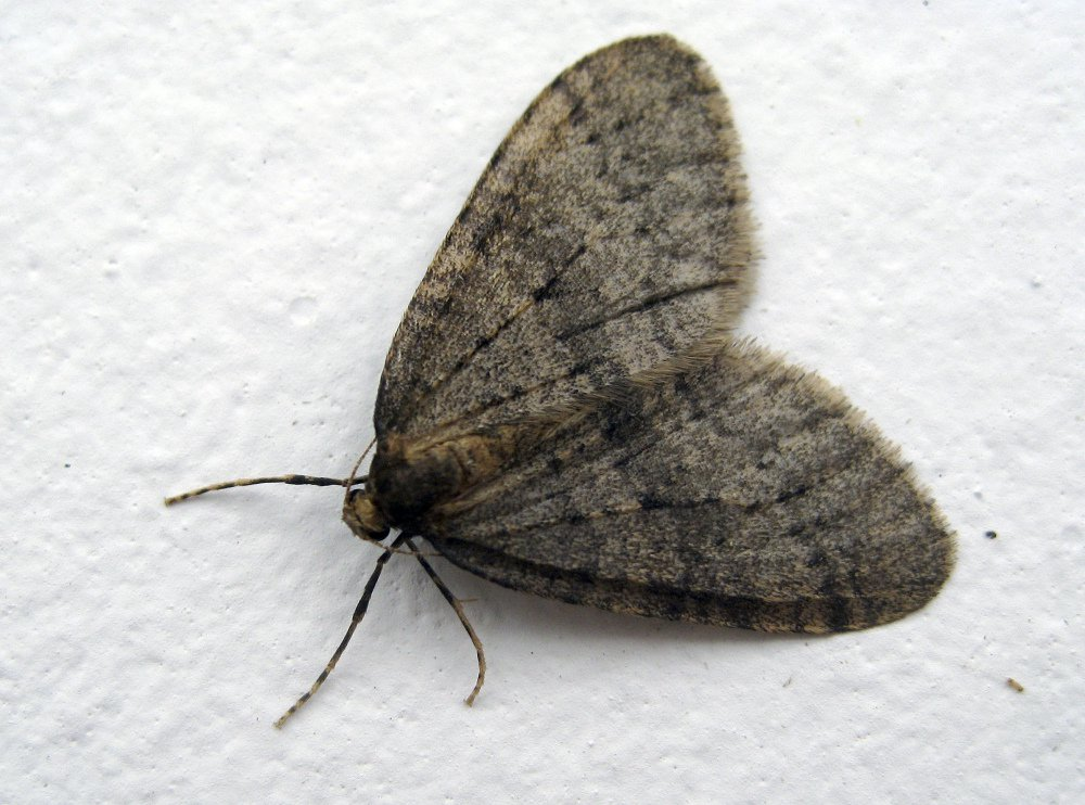 Winter moths such as this one could be particularly problematic in the spring for drought-stressed trees, one expert says.