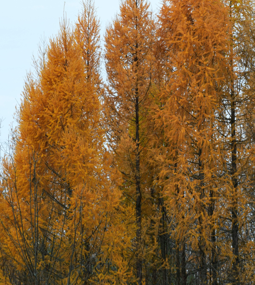Even on a gray November afternoon, the tamaracks at the Unity park seem luminescent.