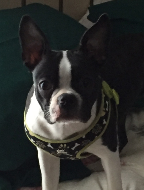 Fergie Rose, a 10-month-old Boston terrier, was killed during an attack by pit bulls in August.