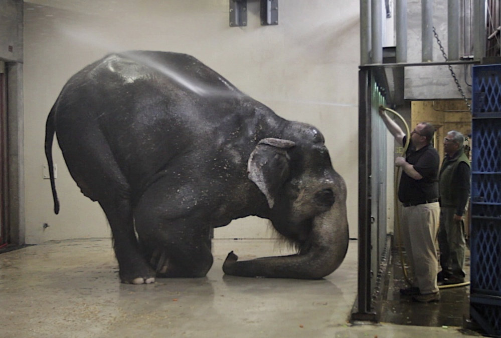 Packy, an Asian elephant, is sprayed with water at the Oregon Zoo, in Portland. Packy is the oldest male of his species in North America. The zoo says Packy, born in 1962, became the first elephant to be born in the Western Hemisphere in 44 years. (Randy L. Rasmussen/The Oregonian via AP, File)