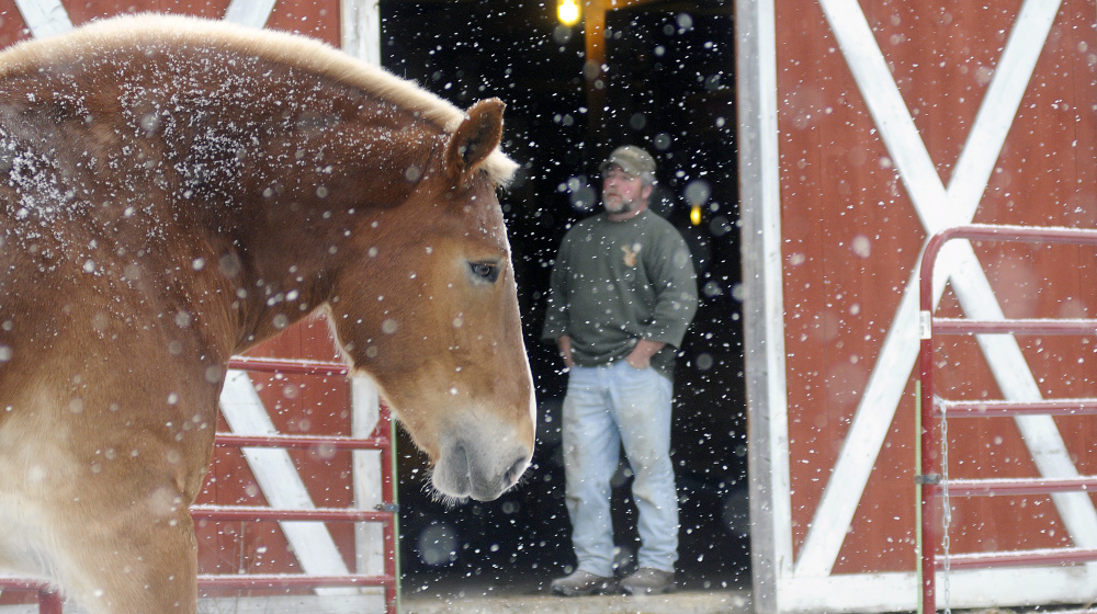 Bub Pierce whistles to the Belgian horses he trains to get into the barn and out of the snow at the McGee Farm in West Gardiner Monday. Pierce conditions two pairs of the draft horses for pulling; the teams finished in third place at the North American Belgian Championship this fall.