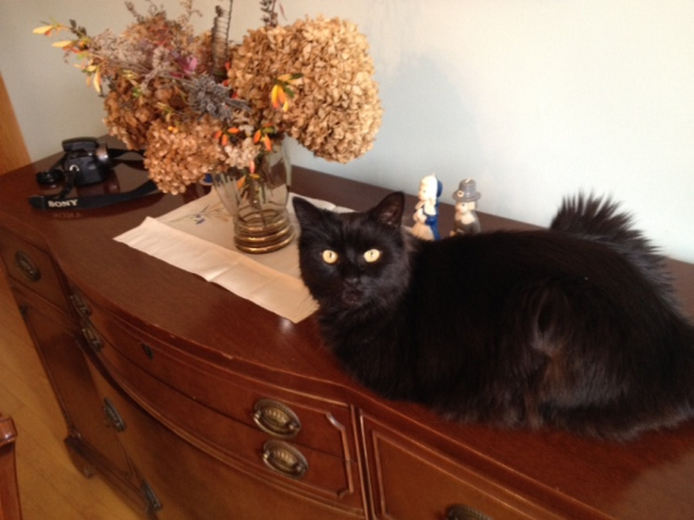 Amy Calder's cat, Pip, on Thanksgiving Day 2016.