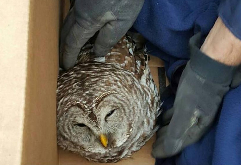 Maine State Police Trooper Bernard Brunette rescued an owl Thursday morning that appeared to have been struck by a vehicle on Interstate 95 in Palmyra.