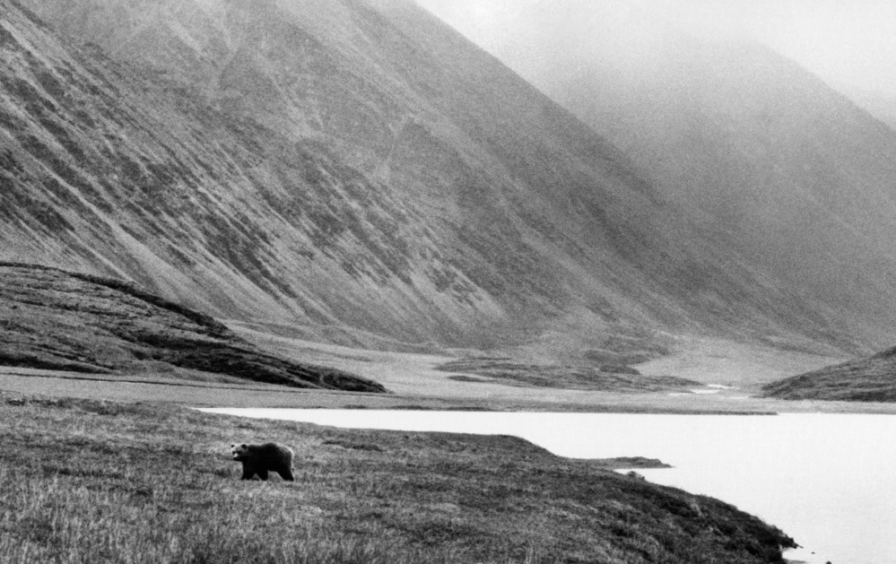 A grizzly bear prowls the tundra of the Arctic National Wildlife Refuge in 1986. The far-north refuge has been a hot topic for decades even though its output potential has not been accurately measured.