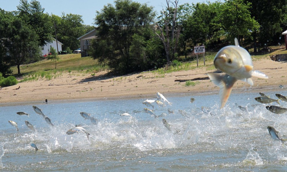 Asian carp, jolted by an electric current from a research boat, jump from the Illinois River in Illinois. A yearslong effort to find a strategy to keep the invasive Asian carp out of the Great Lakes appears to be coming up empty.