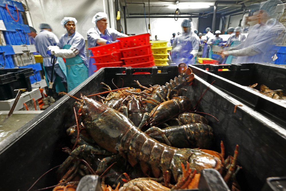 In this June 20, 2014, file photo lobsters are processed at the Sea Hag Seafood plant in St. George. Lobster lovers are shelling out even more in January for the cherished crustaceans because of a lack of catch off of New England and Canada and heavy exports to China. It has become increasingly popular to celebrate the Chinese New Year holiday with lobster, which falls on Jan. 28 this year.
