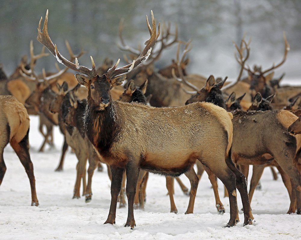 Elk feed on alfalfa hay brought to them by state wildlife officers at the Wenaha Wildlife Area near Troy, Oregon. Animals are suffering across the West as natural food sources have remained buried under ice and heavy snowfall.