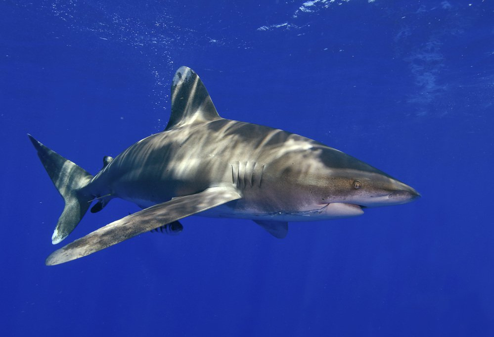 The National Marine Fisheries Service says the whitetip shark is likely to become endangered.