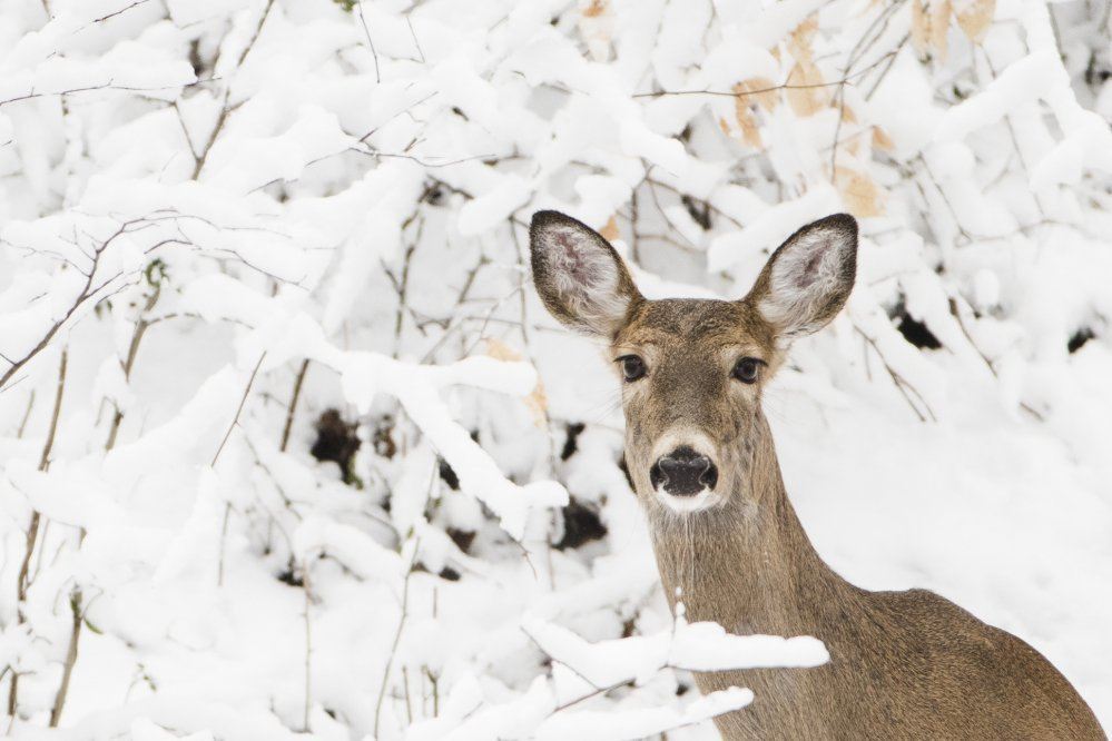 A deer stands on a hill newly covered in snow at the Wissahickon Valley Park in Philadelphia on Thursday.