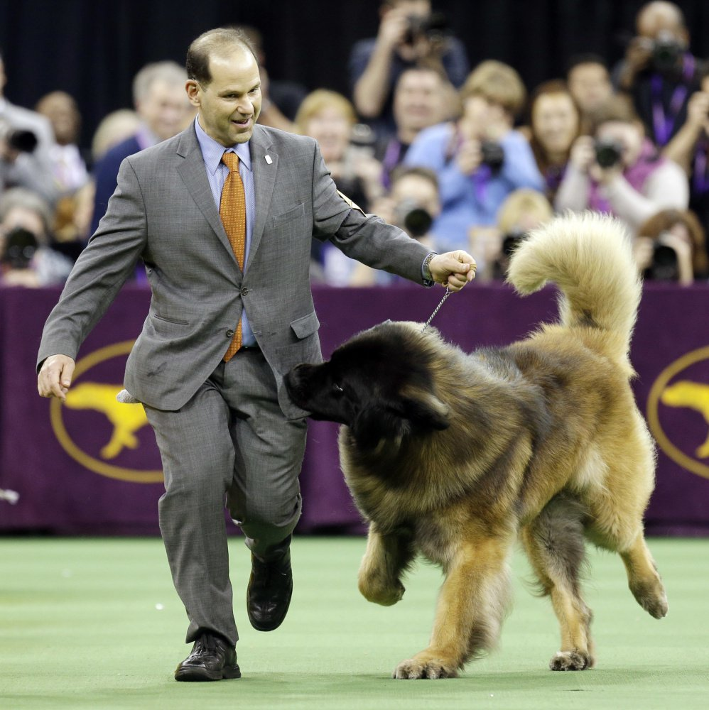 Dario, a Leonberger, tries to get at the treats in Sam Mammano's pocket during the working group competition last February. Dario is back this year.