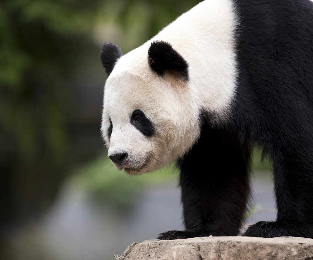Bao Bao roams in an enclosure at the National Zoo in Washington, D.C., in 2015. The 3-year-old panda is scheduled to leave Tuesday on a one-way flight to China to join a breeding program when she turns 5 or 6 years old.
