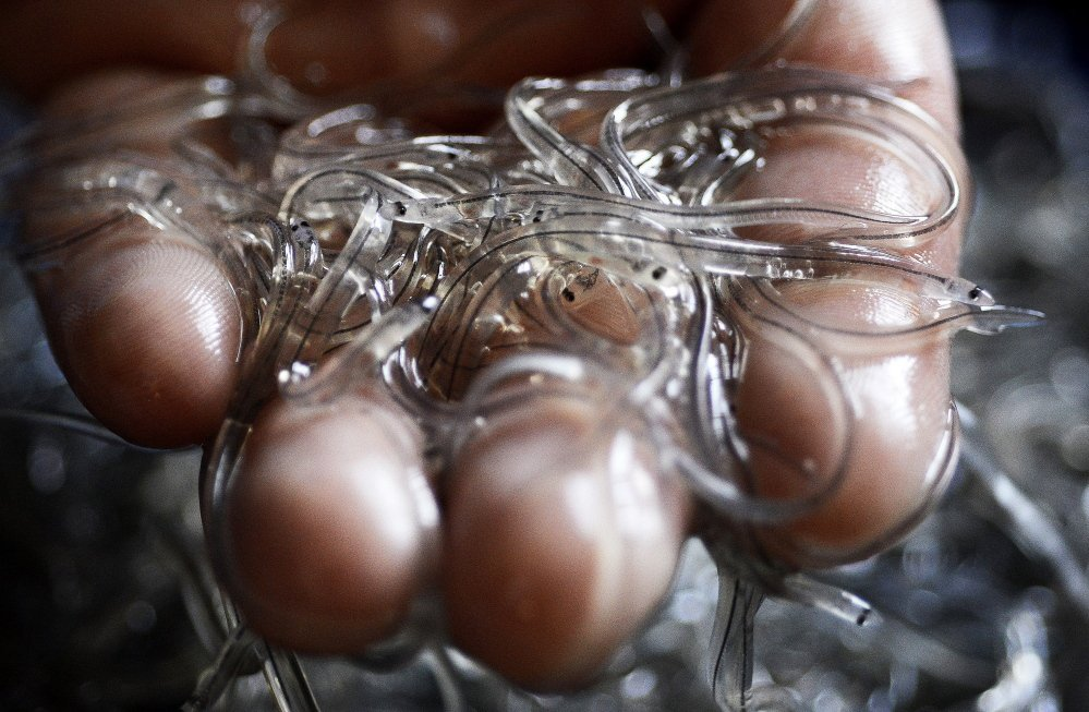 Maine is the only state with a significant elver fishery. The elvers – like these at Delaware Valley Fish Co. in Portland – were worth more than $2,000 per pound in 2015.