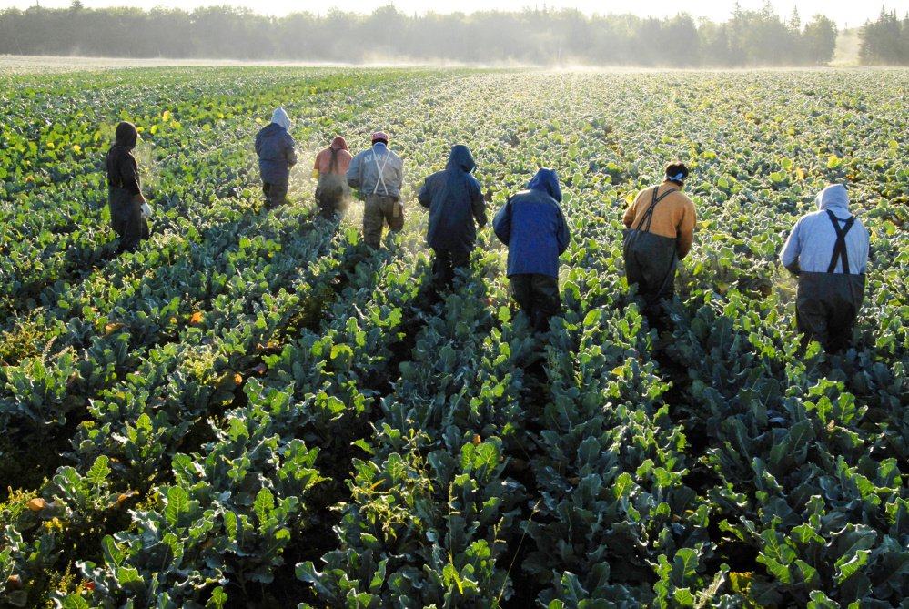 "Farmworkers, mostly from Mexico and El Salvador, cut broccoli stalks at Smith's Farm in 2006 near Fort Fairfield in Aroostook County. Emily Smith, the farm's president, says the 200 foreign-born workers she relies on for her harvests ""make big money and they deserve every penny."""