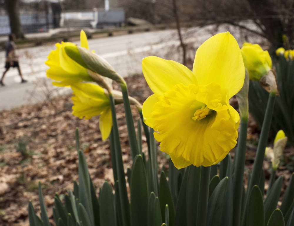 February daffodils bloom in New York's Central Park. Federal meteorologists say the month broke more than 11,700 local records.