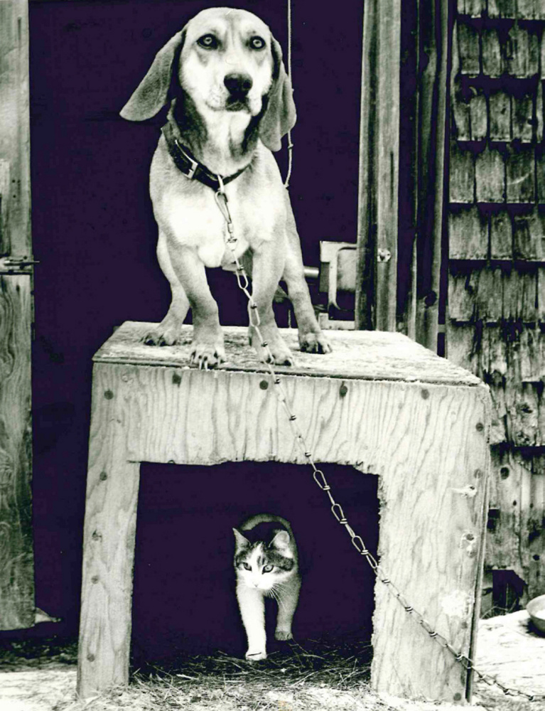 A cat, after giving birth to a kitten in a dog house at a home in Solon, peeks out as a dog stands on the roof, barking fiercely to protect mother and baby from anyone who got too close. Morning Sentinel reporter Amy Calder snapped the photo and, after it was published, received requests from as far away as Florida for copies. The photo still hangs on Calder's wall at home.