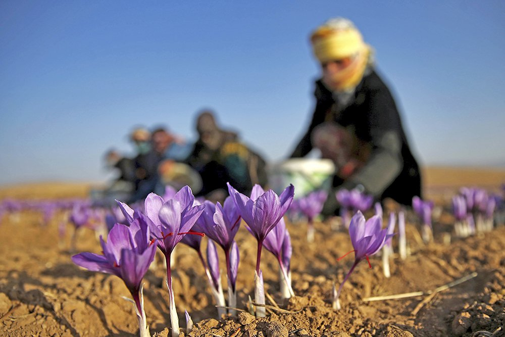 An Iranian farm worker harvests saffron flowers just outside the city of Torbat Heydariyeh, Iran, in October 2016.