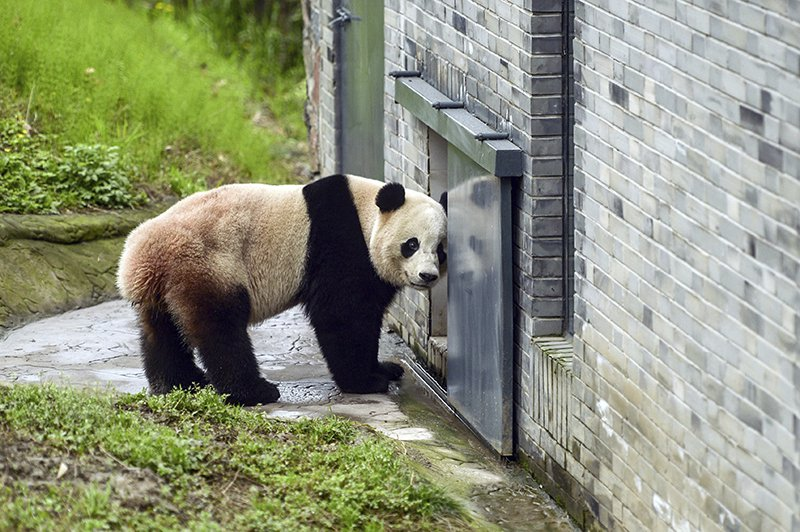 Bao Bao stands in an enclosure at the panda research base in Dujiangyan.