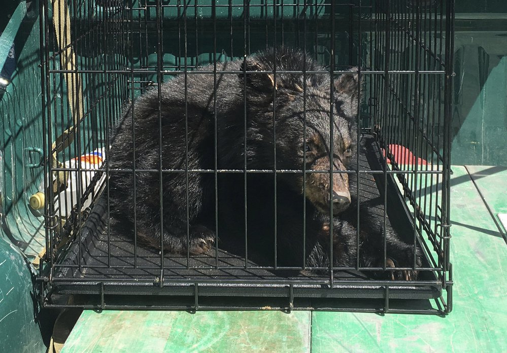 This is one of several bear cubs found April 17 starving in Guildhall, Vt., and sent to a bear rehabilitator in New Hampshire who will care for the cubs until they can be returned to the wild.