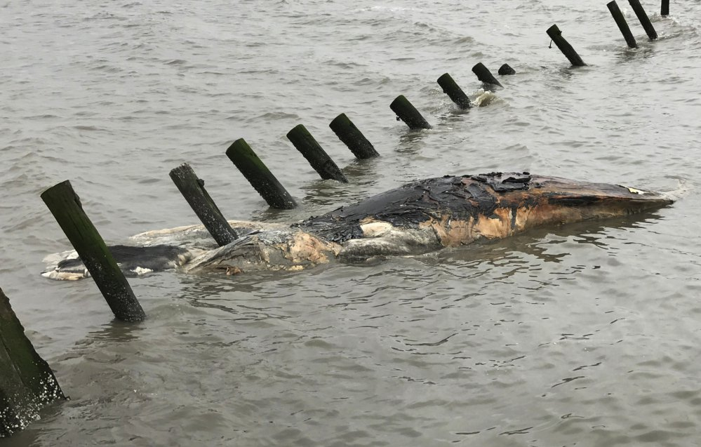 A dead humpback whale is washed up at Port Mahon, Del.