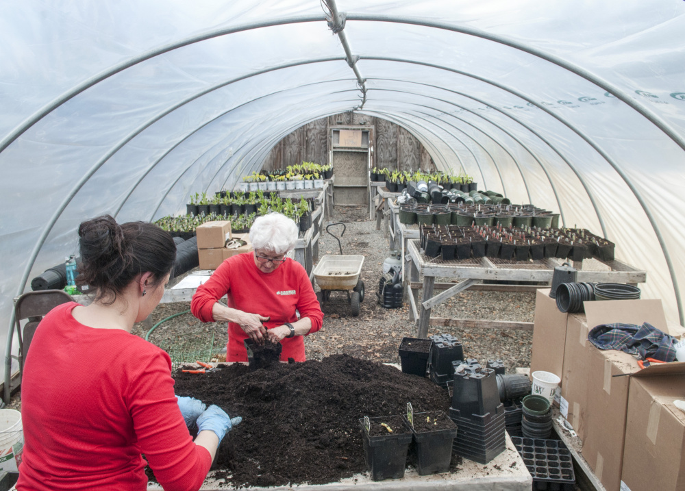 Sarah Mason, left, and Sue Neal transplant day lilies on Friday at D.R. Struck Landscape Nursery in Winthrop. The early spring is a busy time in this and other local commercial greenhouses as workers prepare items for customers to plant when the snow finally goes away.
