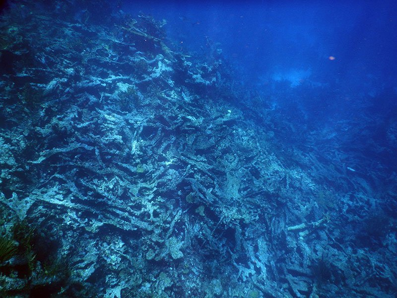 Elkhorn corals (Acropora palmata) near Buck Island, U.S. Virgin Islands have died and collapsed into rubble.