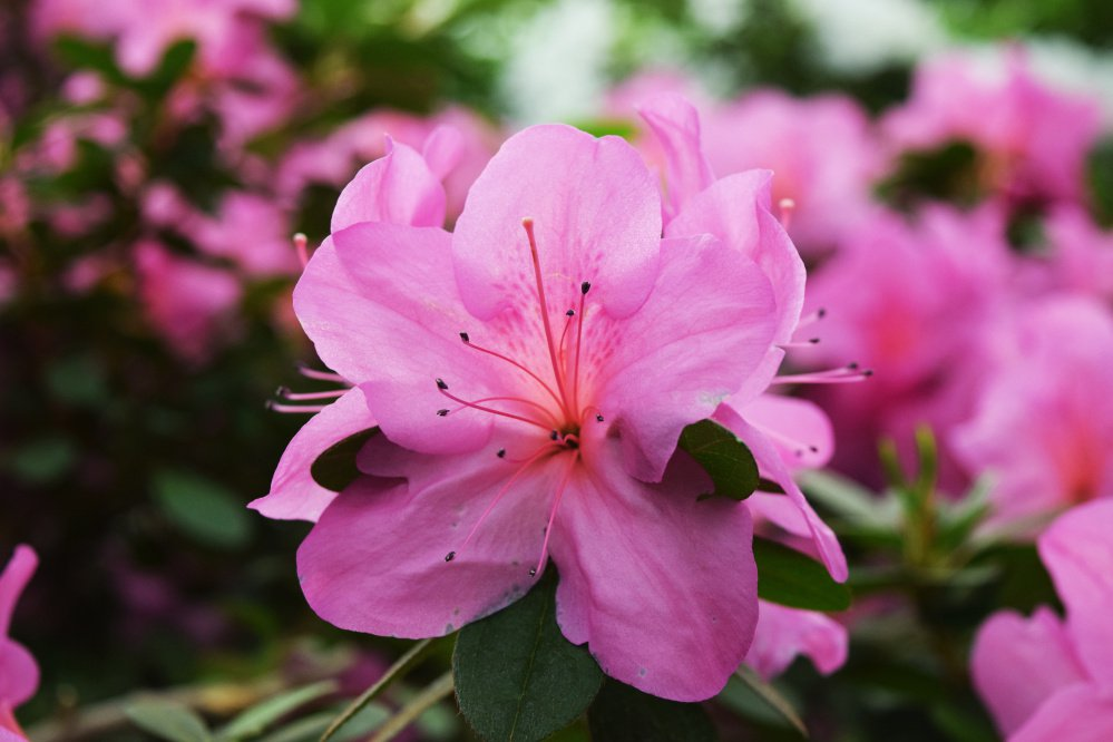 Rhododendron and azaleas – OK for shady conditions and acid soil – burst with colorful, showy blooms.