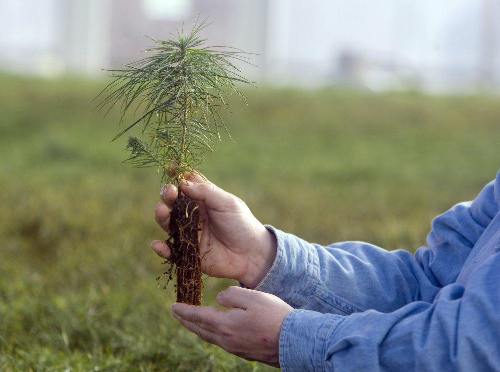 An eastern white pine seedling is held in Nebraska City, Neb. A northward shift was anticipated but the westward move of trees from the east surprised some scientists. Associated Press/Nati Harnik