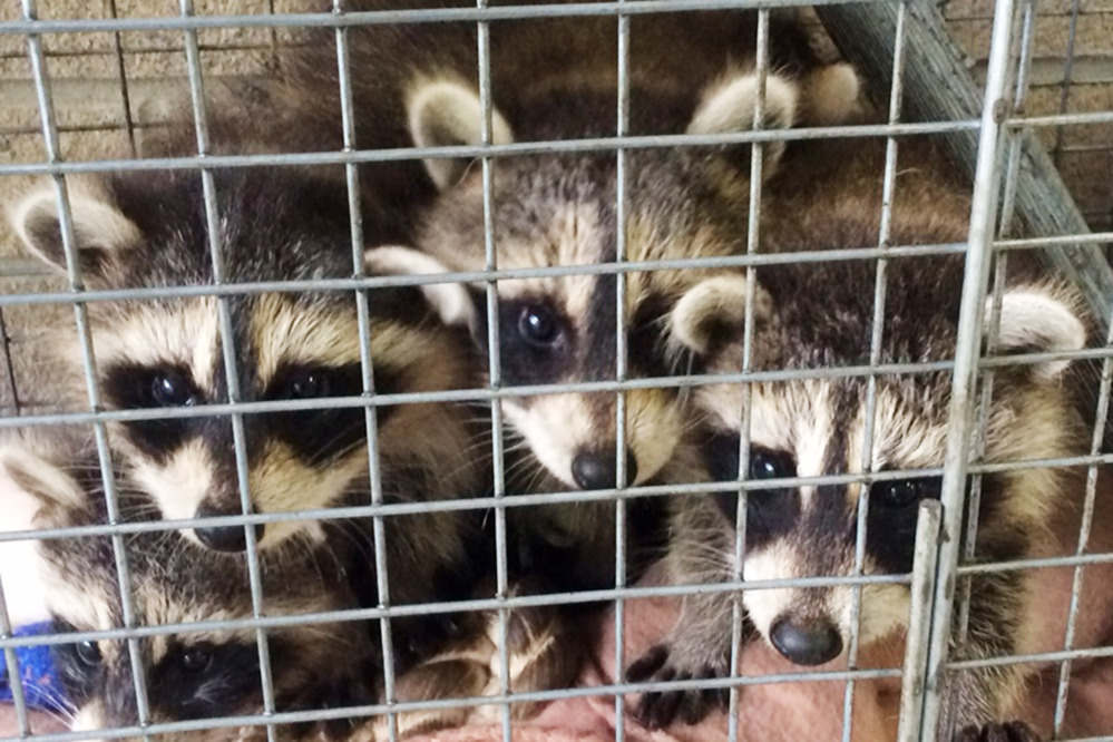 Raccoons can carry rabies, including this trio that was left on the doorstep of the Westchester County Department of Health in New Rochelle, N.Y., in 2014.
