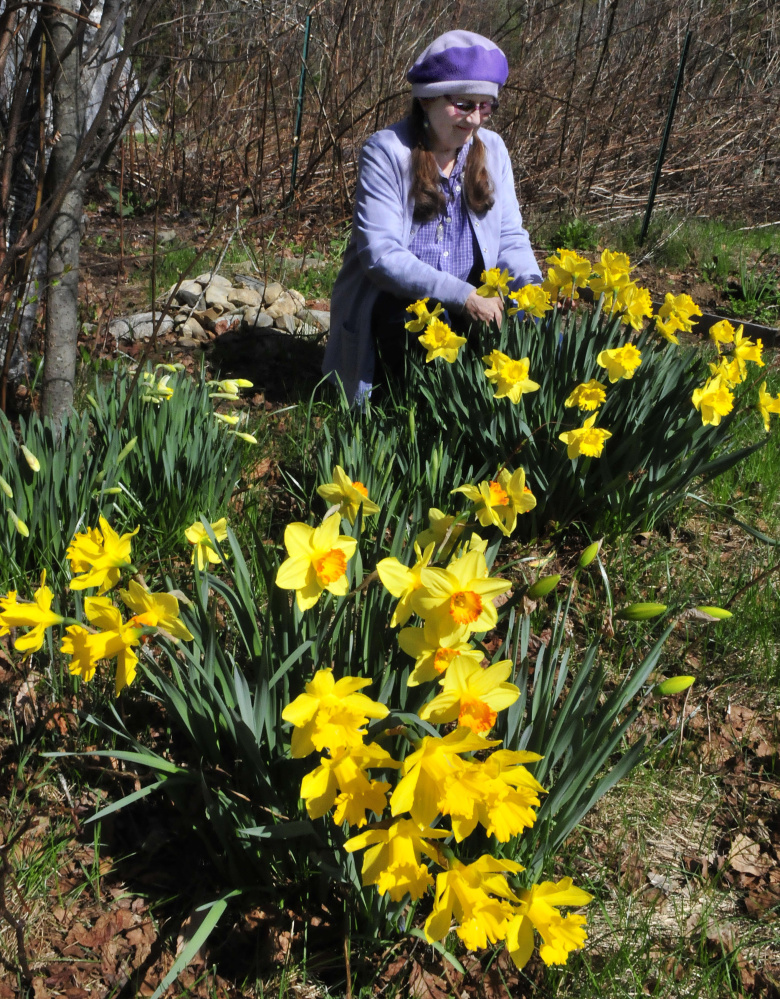 Author and mystic Annie Stillwater Gray cuts daffodils Thursday in one of her many gardens at her home in Solon.