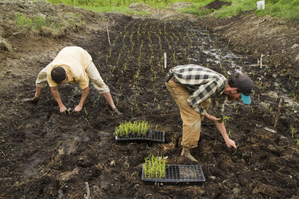 David Gulak and Ben Rooney, co-owners of Wild Folks Farm in Benton, plant a small rice paddy on May 27, 2014. The farm's experiment of growing rice has yielded bounty. Last year 2,500 pounds were produced. On Saturday the farm is holding a rice transplanting celebration.