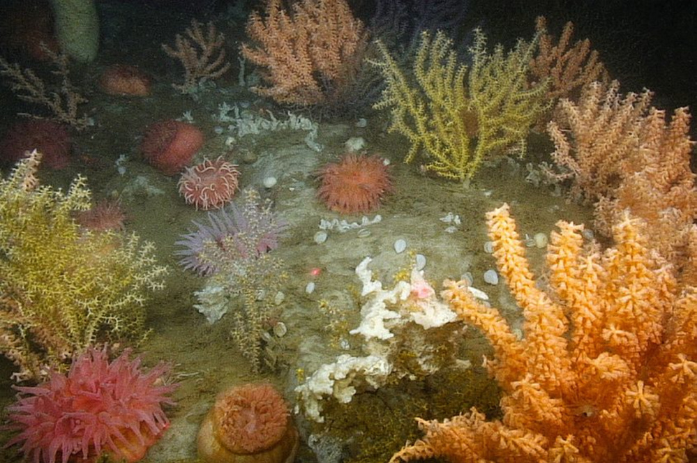 This dense, multi-species deep-sea coral garden was found 200 meters below sea level in a federally funded survey of the Gulf of Maine in 2014. New England regulators have voted to allow lobster fishing in proposed deep-sea coral protection zones, including two heavily fished areas off Down East Maine.